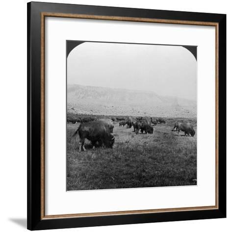 Buffalo, Yellowstone National Park, Usa-HC White-Framed Art Print