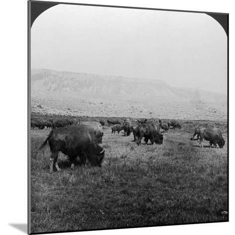 Buffalo, Yellowstone National Park, Usa-HC White-Mounted Photographic Print