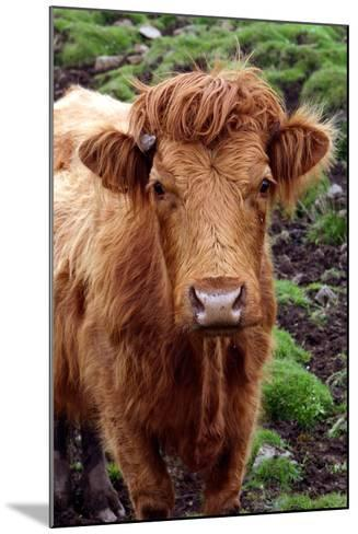 Cattle, Skye, Highland, Scotland-Peter Thompson-Mounted Photographic Print