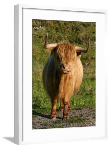 Highland Cattle, Scotland-Peter Thompson-Framed Art Print