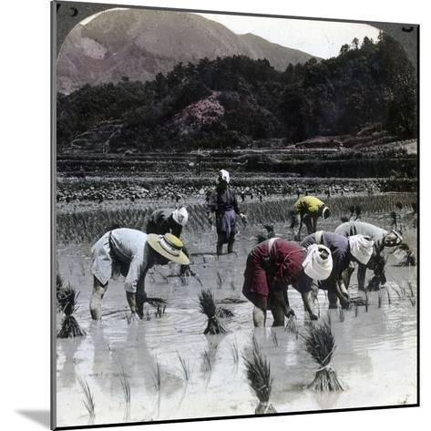 Transplanting Rice in a Paddy Field, Japan, 1904-Underwood & Underwood-Mounted Photographic Print
