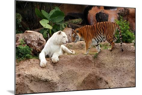 Tigers, Loro Parque, Tenerife, Canary Islands, 2007-Peter Thompson-Mounted Photographic Print
