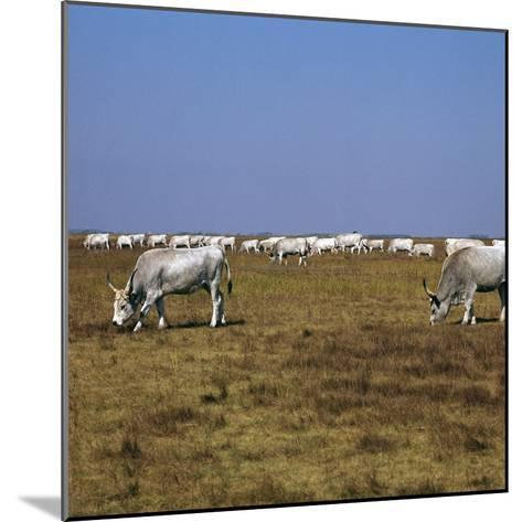 Hungarian White Cattle-CM Dixon-Mounted Photographic Print