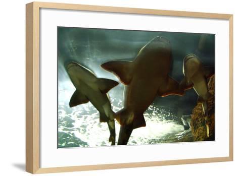 Basking Sharks in the Aquarium, Loro Parque, Tenerife, Canary Islands, 2007-Peter Thompson-Framed Art Print