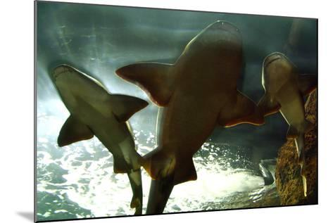 Basking Sharks in the Aquarium, Loro Parque, Tenerife, Canary Islands, 2007-Peter Thompson-Mounted Photographic Print