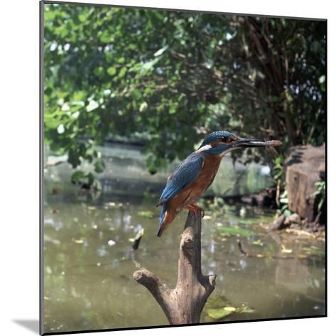 Kingfisher-CM Dixon-Mounted Photographic Print