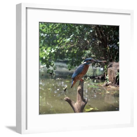 Kingfisher-CM Dixon-Framed Art Print