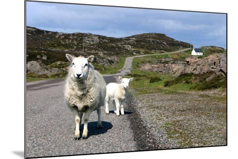 Sheep and Lamb, Applecross Peninsula, Highland, Scotland-Peter Thompson-Mounted Photographic Print