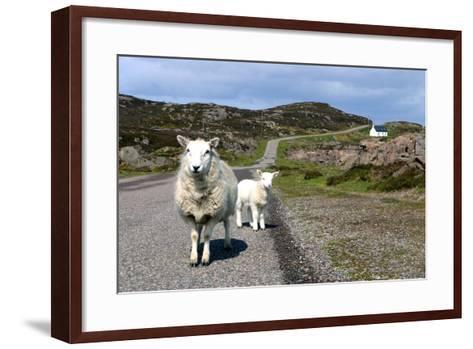 Sheep and Lamb, Applecross Peninsula, Highland, Scotland-Peter Thompson-Framed Art Print