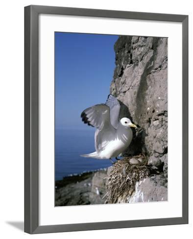 Kittiwake-CM Dixon-Framed Art Print
