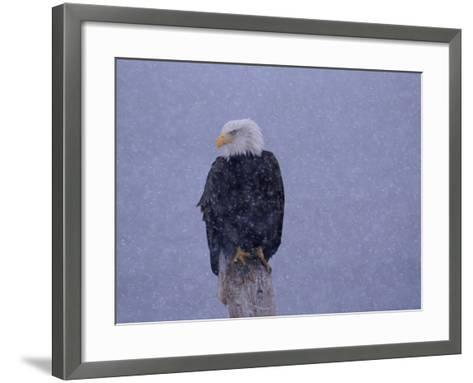 American Bald Eagle in Snow, Alaska-Lynn M^ Stone-Framed Art Print