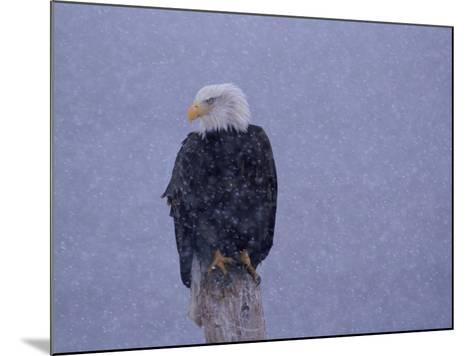 American Bald Eagle in Snow, Alaska-Lynn M^ Stone-Mounted Photographic Print