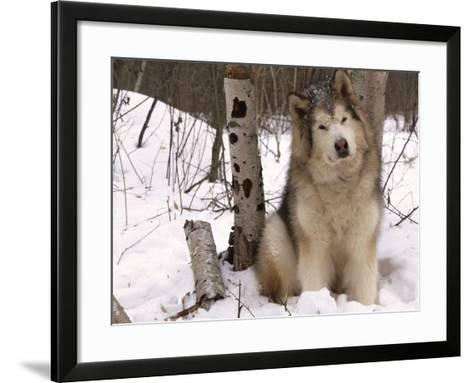 Alaskan Malamute Dog, USA-Lynn M^ Stone-Framed Art Print