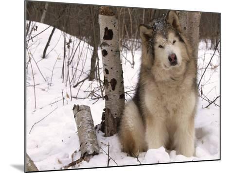 Alaskan Malamute Dog, USA-Lynn M^ Stone-Mounted Photographic Print