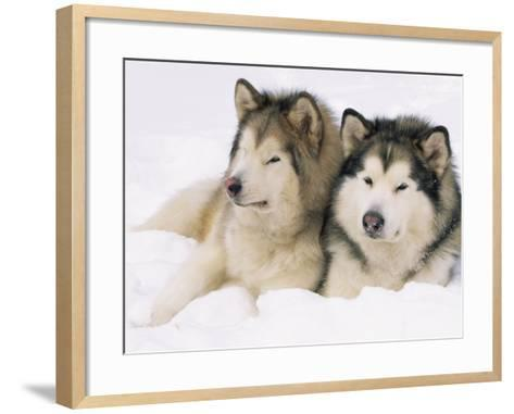 Two Alaskan Malamute Dogs, USA-Lynn M^ Stone-Framed Art Print