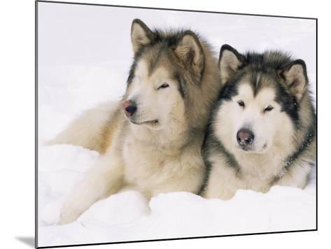 Two Alaskan Malamute Dogs, USA-Lynn M^ Stone-Mounted Photographic Print