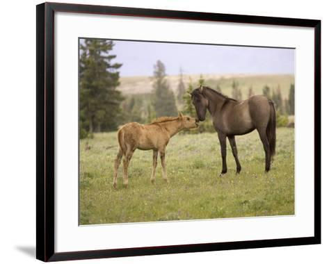 Mustang / Wild Horse Filly Touching Nose of Mare from Another Band, Montana, USA-Carol Walker-Framed Art Print