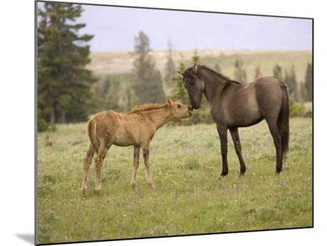 Mustang / Wild Horse Filly Touching Nose of Mare from Another Band, Montana, USA-Carol Walker-Mounted Photographic Print