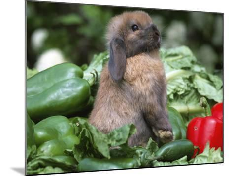 Holland Lop Domestic Rabbit-Lynn M^ Stone-Mounted Photographic Print