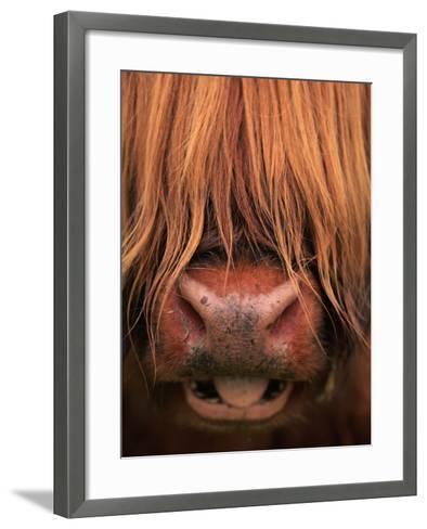 Highland Cattle, Head Close-Up, Scotland-Niall Benvie-Framed Art Print