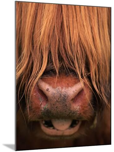 Highland Cattle, Head Close-Up, Scotland-Niall Benvie-Mounted Photographic Print