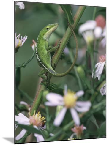 Green Anole, Juvenile, Texas, USA-Rolf Nussbaumer-Mounted Photographic Print