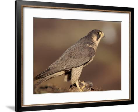 Peregrine Falcon Female (Falco Peregrinus), Subspecies Brookei from Southern Europe-Niall Benvie-Framed Art Print