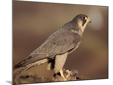 Peregrine Falcon Female (Falco Peregrinus), Subspecies Brookei from Southern Europe-Niall Benvie-Mounted Photographic Print