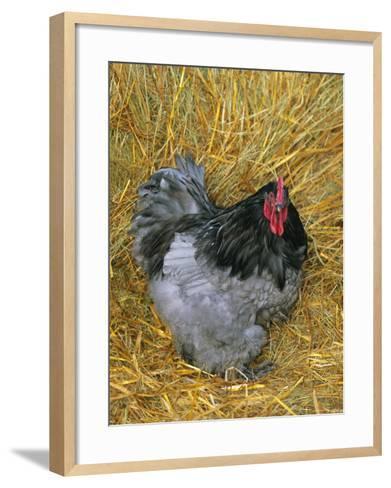 Blue Cochin Breed of Domestic Chicken, Cock., USA-Lynn M^ Stone-Framed Art Print