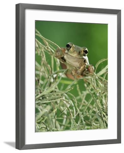 Mexican Treefrog, on Spanish Moss, Texas, USA-Rolf Nussbaumer-Framed Art Print