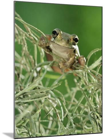 Mexican Treefrog, on Spanish Moss, Texas, USA-Rolf Nussbaumer-Mounted Photographic Print