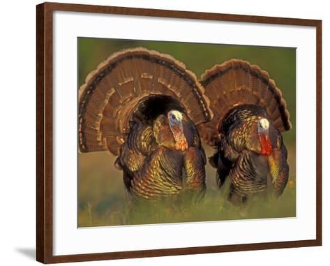 Wild Turkey Males Displaying, Texas, USA-Rolf Nussbaumer-Framed Art Print