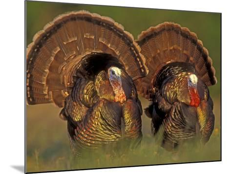 Wild Turkey Males Displaying, Texas, USA-Rolf Nussbaumer-Mounted Photographic Print