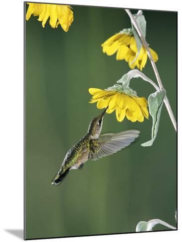 Ruby Throated Hummingbird, Female Feeds at Sunflower, Texas, USA-Rolf Nussbaumer-Mounted Photographic Print