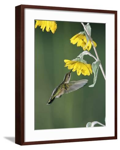 Ruby Throated Hummingbird, Female Feeds at Sunflower, Texas, USA-Rolf Nussbaumer-Framed Art Print