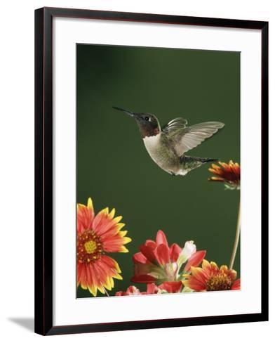 Ruby Throated Hummingbird, Male Flying, Texas, USA-Rolf Nussbaumer-Framed Art Print
