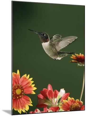 Ruby Throated Hummingbird, Male Flying, Texas, USA-Rolf Nussbaumer-Mounted Photographic Print