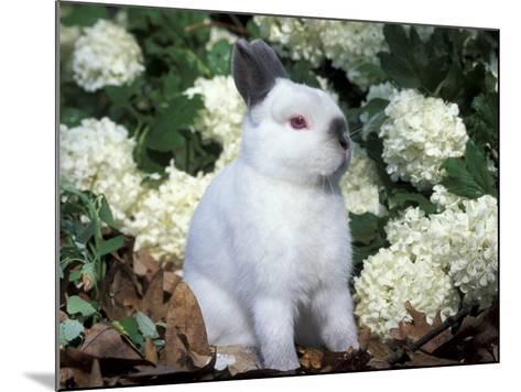 Netherland Dwarf Domestic Rabbit-Lynn M^ Stone-Mounted Photographic Print