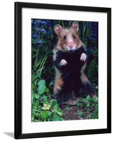 Common Hamster (Cricetus Cricetus)-Reinhard-Framed Art Print