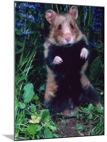 Common Hamster (Cricetus Cricetus)-Reinhard-Mounted Photographic Print