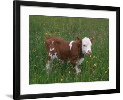 Cows, Domestic Cattle, Calf, Europe-Reinhard-Framed Art Print
