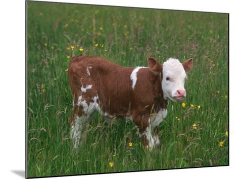 Cows, Domestic Cattle, Calf, Europe-Reinhard-Mounted Photographic Print
