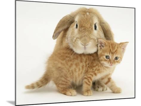 British Shorthair Red Spotted Kitten with Sandy Lop Rabbit-Jane Burton-Mounted Photographic Print