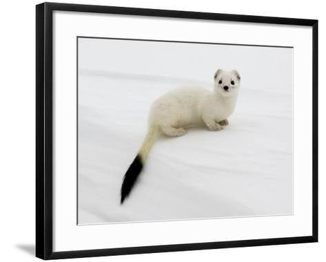 Stoat in White Winter Coat, Kronotsky Zapovednik, Kamchatka, Far East Russia, April-Igor Shpilenok-Framed Art Print
