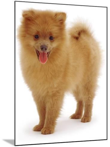 Pomeranian Puppy, 10 Weeks Old-Jane Burton-Mounted Photographic Print