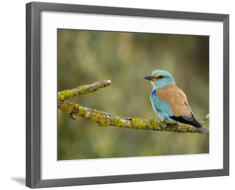 Common Roller Perched, South Spain-Inaki Relanzon-Framed Art Print