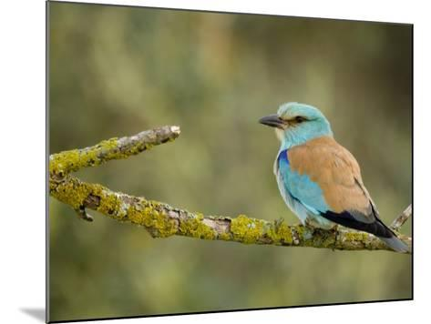 Common Roller Perched, South Spain-Inaki Relanzon-Mounted Photographic Print