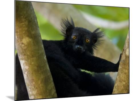 Black Lemur Male, Nosy Komba, North Madagascar, Iucn Vulnerable-Inaki Relanzon-Mounted Photographic Print