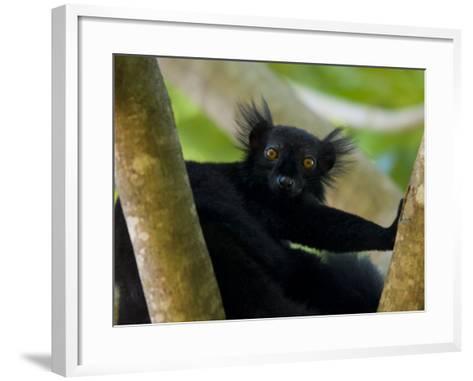 Black Lemur Male, Nosy Komba, North Madagascar, Iucn Vulnerable-Inaki Relanzon-Framed Art Print