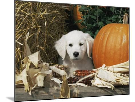 Golden Retriever Puppy (Canis Familiaris) Portrait with Pumpkin-Lynn M^ Stone-Mounted Photographic Print